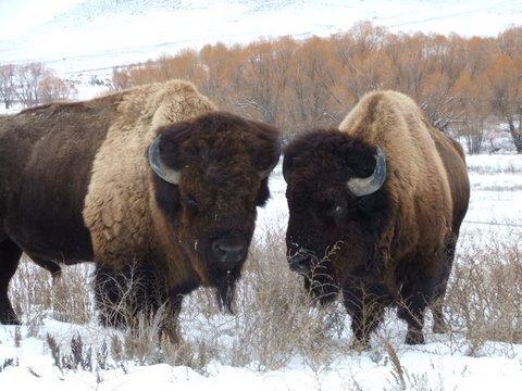 Bison coming to Zoo Montana